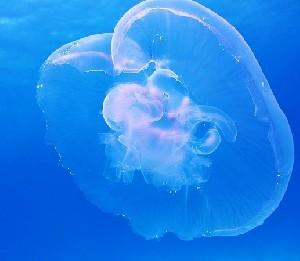 Новые пластыри предлагают делать из… медуз