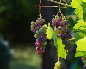 Засуха в ЮАР бьет по винной промышленности