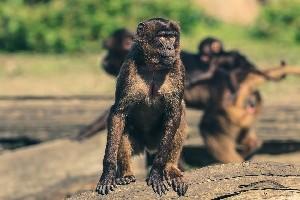 В Индии обезьяна убила 12-дневного ребенка